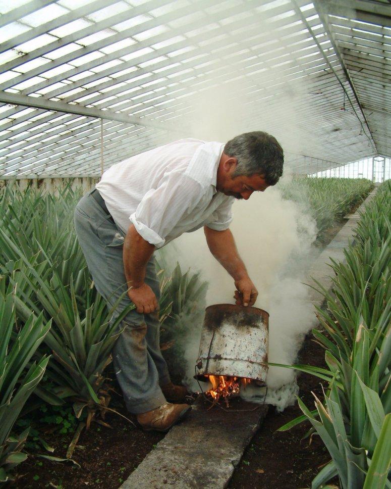 Smoking the pineapple greenhouse